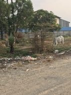 No wonder the beef is so poor - the cows are also 'rubbish pickers'
